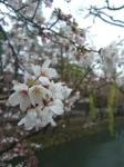 080330桜