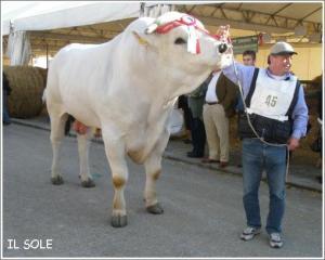 キアニーナ牛