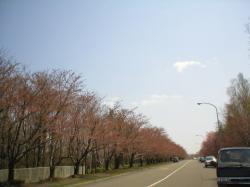 ソメイヨシノ★蕾