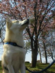 クンクンと桜
