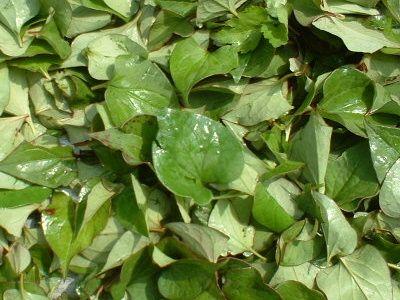 ドクダミの葉