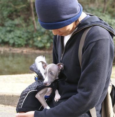 散歩中に甘えるイタグレ小太郎