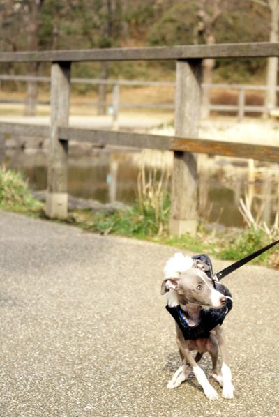 ビビッて歩かないイタグレ小太郎