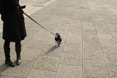 歩きたくないイタグレ小太郎