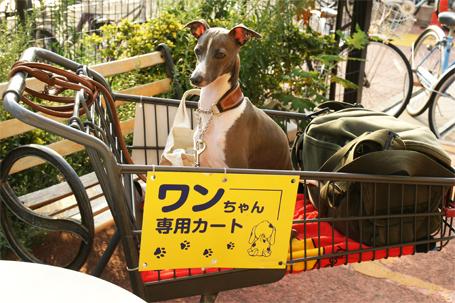 わんちゃん専用カートに乗るイタグレ小太郎
