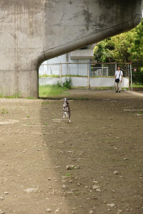 走りよってくるイタグレ小太郎