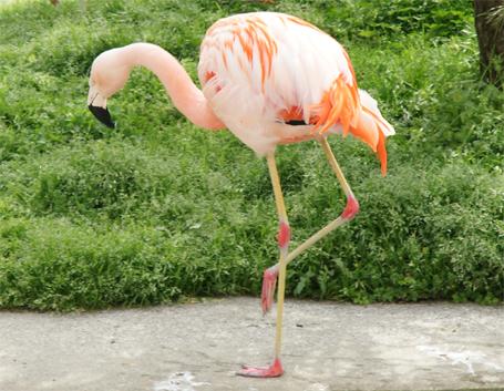 足が細いフラミンゴ
