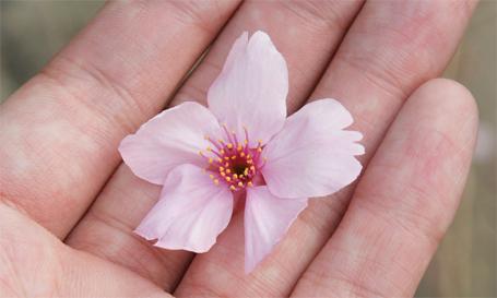 手の平に舞い落ちる桜