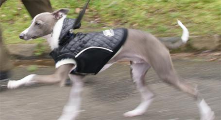 走る!イタグレ小太郎