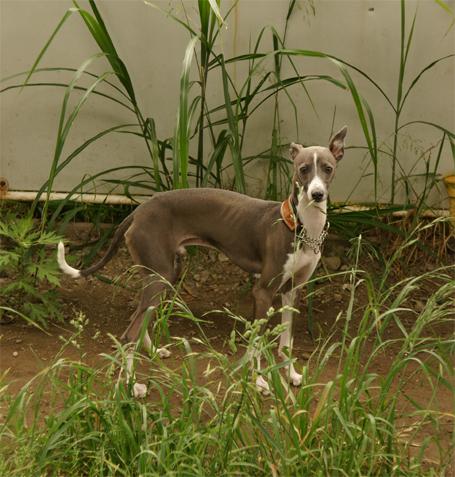草むらに佇むイタグレ小太郎