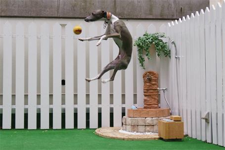 ジャンプするイタグレ小太郎