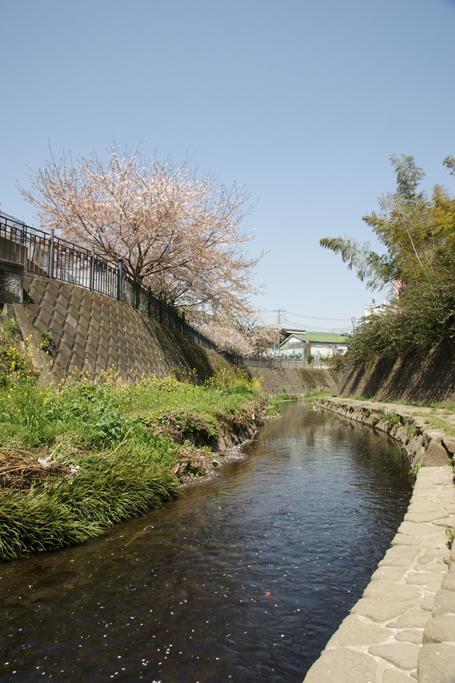 桜散る川沿い