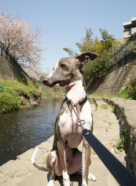 川沿いにお座りするイタグレ小太郎