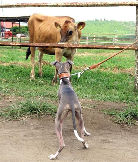 近づいてくる牛さん