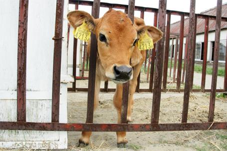 とってもかわいい仔牛さん