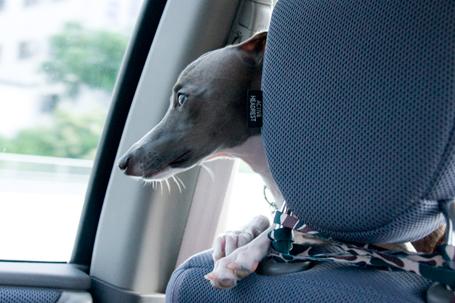 車の中のイタグレ小太郎