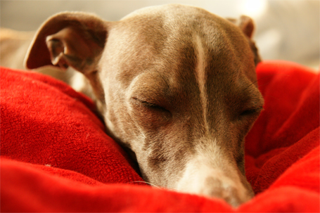 あご枕を見つけたイタグレ小太郎