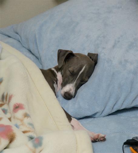 ベッドで人間のように眠るイタグレ小太郎