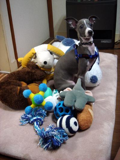 おもちゃに囲まれるイタグレ小太郎