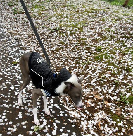 桜の花びらを食べたいイタグレ小太郎