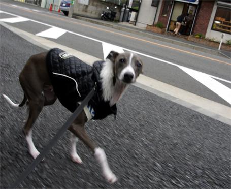 楽しそうに歩くイタグレ小太郎