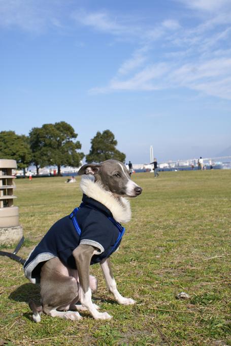広い公園に小さなイタグレ小太郎