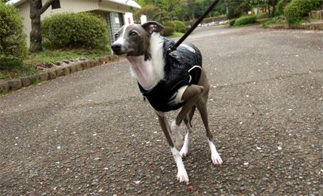 散歩大好きイタグレ小太郎