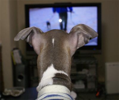 テレビを見ているイタグレ小太郎