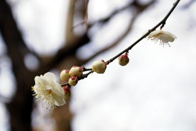 梅が咲いていました☆