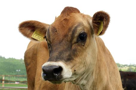 かわいい顔の牛さん