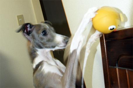 お預けされているボールを取るイタグレ小太郎