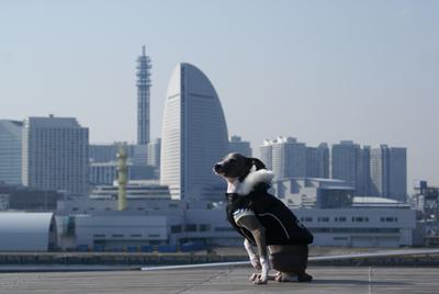 横浜とイタグレ小太郎
