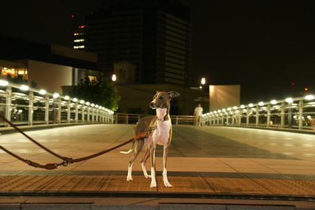 夜のお散歩も楽しいイタグレ小太郎
