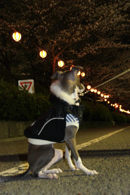 夜桜を愛でるイタグレ小太郎