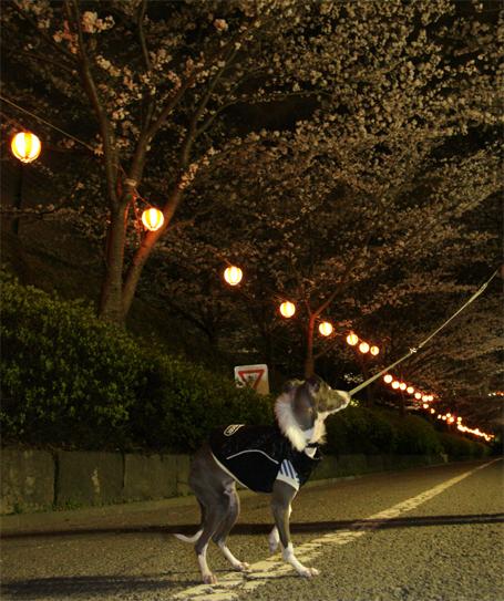 夜桜に興味のないイタグレ小太郎