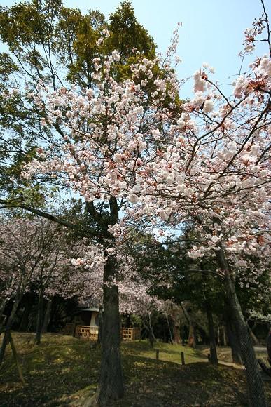 桜_01_01