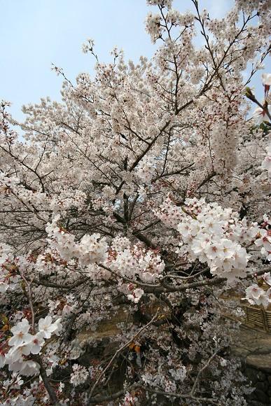 桜_01_02