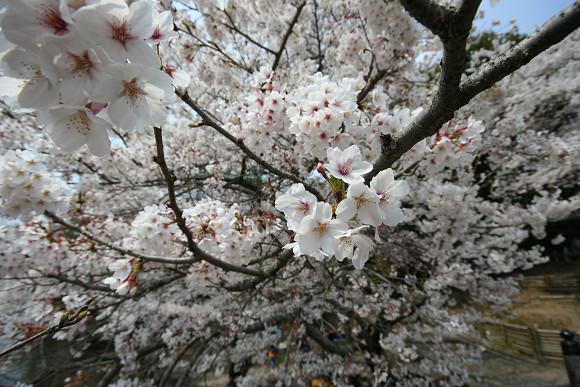 桜_01_03