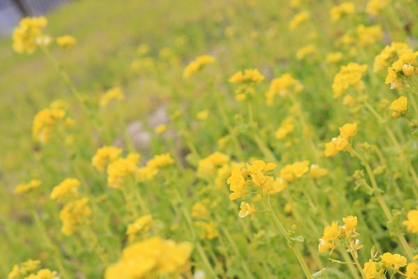 菜の花_04_03