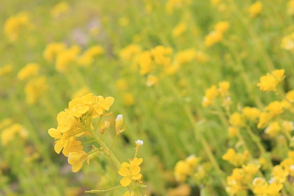 菜の花_04_04