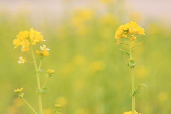 菜の花_04_05