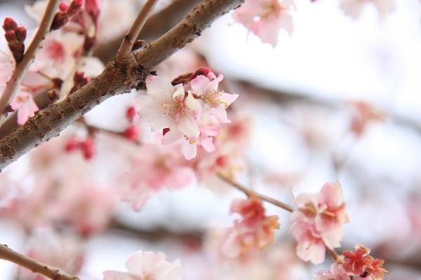 桜_02_1