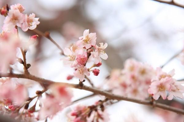 桜_02_2