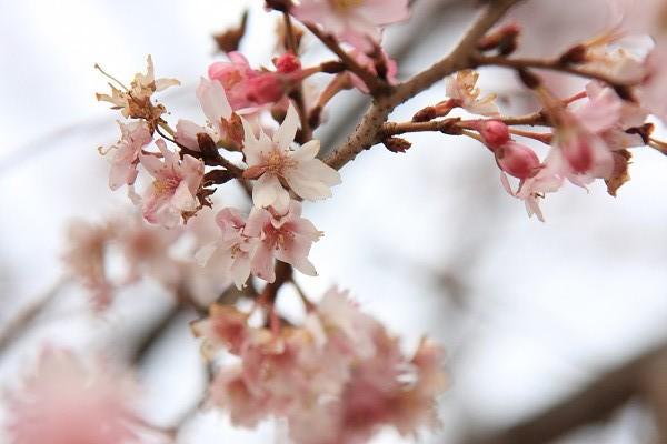 桜_02_3