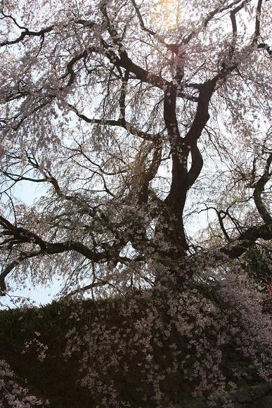 桜_04_1
