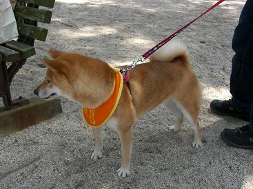 ももんがさんちの伊吹ちゃん。幹事犬さんでしゅ。