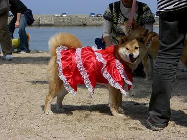 フリフリドレスのお姉さん(チコちゃん)。セレブ犬でしゅか?