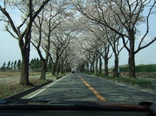2008_0303桜0005海軍道路_小