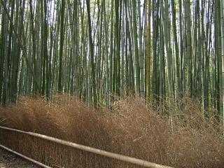 嵯峨野の竹林-1