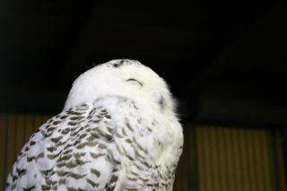 悟りの顔_白フクロウ